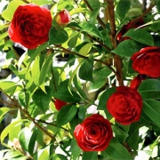 klappkarte-rosen