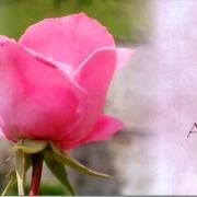 rose-alles-gute